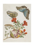 Blue Butterflies and Pomegranate, 1705-1771 Giclee Print by Maria Sibylla Graff Merian