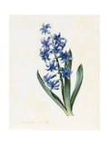 Hyacinth, 1826 Giclee Print by Louise D'Orleans
