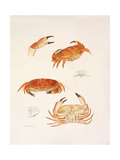 Crabs, 1986 Giclee Print by Mary Clare Critchley-Salmonson