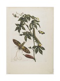 Sphinx Moth, Larva, Pupa, and Flower, 1705-1771 Giclee Print by Maria Sibylla Graff Merian