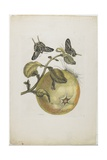 Swallowtails and Great Yellow Fruit, 1705-1771 Giclee Print by Maria Sibylla Graff Merian