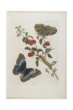 Great Blue Butterflies and Red Fruits, 1705-1771 Giclee Print by Maria Sibylla Graff Merian