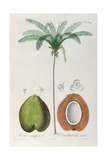 Coconuts and Coconut Tree (Palm Tree) Giclee Print by Louis Michel Dumesnil