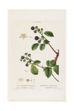 Ronce Frutescente. Ronce Bleue, from Traites Des Arbres Et Fruitiers, 1801-1819 Giclee Print by Pancrace Bessa