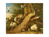 Peacock, Parakeet, Pelican, Crane and Poultry Giclee Print by Melchior de Hondecoeter