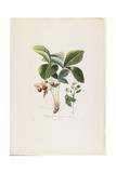 Fraisier De Virginie (Grandes Fleurs), from Traite Des Arbres Fruitiers, 1807-1835 Giclee Print by Pierre Antoine Poiteau