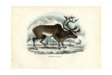 Reindeer, 1863-79 Wydruk giclee autor Raimundo Petraroja