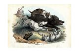 Wild Boar, 1863-79 Giclée-tryk af Raimundo Petraroja