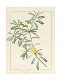 Banksia Marcescens, 1813 Giclee Print by Pierre Joseph Redoute