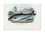 Atlantic Salmon, 1863-79 Gicléedruk van Raimundo Petraroja