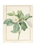 Magnolia Glauca, 1811 Giclée-Druck von Pierre Joseph Redoute