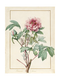 Paeonia Montan Giclee Print by Pierre Joseph Redoute