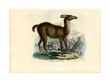 Llama, 1863-79 Giclee Print by Raimundo Petraroja