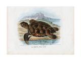 Hawksbill Sea Turtle, 1863-79 Giclee Print by Raimundo Petraroja