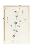 Silene Chloraefolia, 1810 Giclee Print by Pierre Joseph Redoute