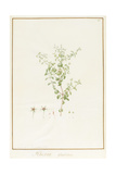 Rhexia Glandulosa (W/C and Bodycolour over Traces of Graphite on Vellum) Giclee Print by Pierre Joseph Redoute