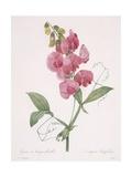 Lathyrus Latifolius (Everlasting Pea), 1827 Giclee Print by Pierre Joseph Redoute