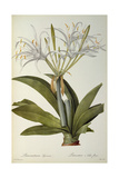 Pancratium Speciosum, from 'Les Liliacees', 1806 Giclee Print by Pierre Joseph Redoute