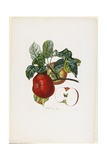 Belle De Havre (Apple), from Traite Des Arbres Fruitiers, 1807-1835 Giclee Print by Pierre Jean Francois Turpin