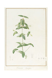 Correa Vieisiflora, 1811 (W/C and Bodycolour over Traces of Graphite on Vellum) Giclee Print by Pierre Joseph Redoute