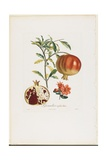 Grenadier a Fruit Doux, from Traite Des Arbres Fruitiers, 1807-1835 Giclee Print by Pierre Jean Francois Turpin