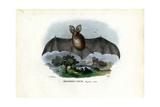 Grey Long-Eared Bat, 1863-79 Giclee Print by Raimundo Petraroja