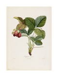 Capron Commun. (Strawberries), from Traite Des Arbres Fruitiers, 1807-1835 Giclee Print by Pierre Jean Francois Turpin