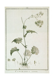 Cineraria Cruenta, from 'Sertum Angelicum', Published 1788 Giclee Print by Pierre Joseph Redoute