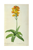 Ornithogalum Aureum, from `Les Liliacees' Giclee Print by Pierre Joseph Redoute