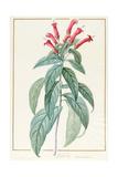 Lobelia Surinamensis Giclee Print by Pierre Joseph Redoute
