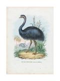 Emu, 1863-79 Giclee Print by Raimundo Petraroja