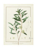 Eucalyptus Diversifolia, 1811 (W/C and Bodycolour over Traces of Graphite on Vellum) Giclée-tryk af Pierre Joseph Redoute