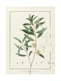 Pierre Joseph Redoute - Eucalyptus Diversifolia, 1811 (W/C and Bodycolour over Traces of Graphite on Vellum) Digitálně vytištěná reprodukce
