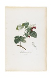 Framboisier a Fruit Rouge (Raspberries), from Traite Des Arbres Fruitiers, 1807-1835 Giclee Print by Pierre Jean Francois Turpin