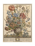 March, from 'Twelve Months of Flowers' by Robert Furber (C.1674-1756) Engraved by Henry Fletcher Giclee Print by Pieter Casteels