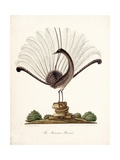The Mountain Pheasant (Lyrebird) 1819 Giclee Print by Richard Browne