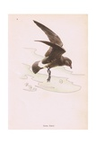 Storm Petrel Giclee Print by Robert George Talbot Kelly
