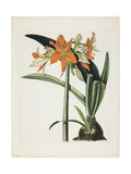 Amaryllis Fulgida (Striped-Tubed Amaryllis), 1831-1834 Giclee Print by Robert The Younger Havell