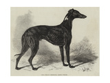 Lord Lurgan's Greyhound, Master M'Grath Giclee Print by Samuel John Carter