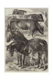 Prize Horses and Cattle at the Oxford Meeting of the Royal Agricultural Society Giclee Print by Samuel John Carter