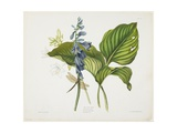 Common Hostas and English Dragon Fly Giclee Print by Robert The Younger Havell