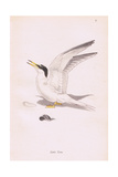 Little Tern Giclee Print by Robert George Talbot Kelly