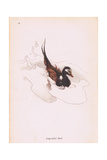 Long Tailed Duck Giclee Print by Robert George Talbot Kelly