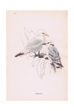 Kittiwakes Giclee Print by Robert George Talbot Kelly