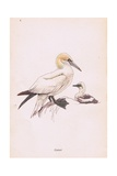 Gannet Giclee Print by Robert George Talbot Kelly
