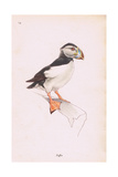 Puffin Giclee Print by Robert George Talbot Kelly