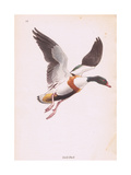 Sheld Duck Giclee Print by Robert George Talbot Kelly