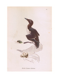 Common Guillemot Giclee Print by Robert George Talbot Kelly