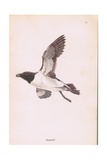 Razorbill Giclee Print by Robert George Talbot Kelly