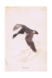 Brent Goose Giclee Print by Robert George Talbot Kelly